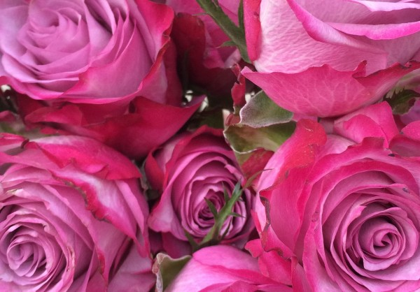 Pink and purple roses